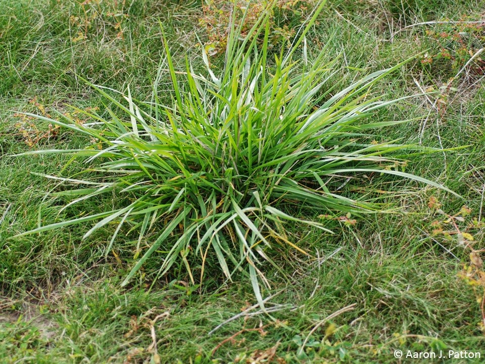 Tall Fescue | Purdue University Turfgrass Science at Purdue University