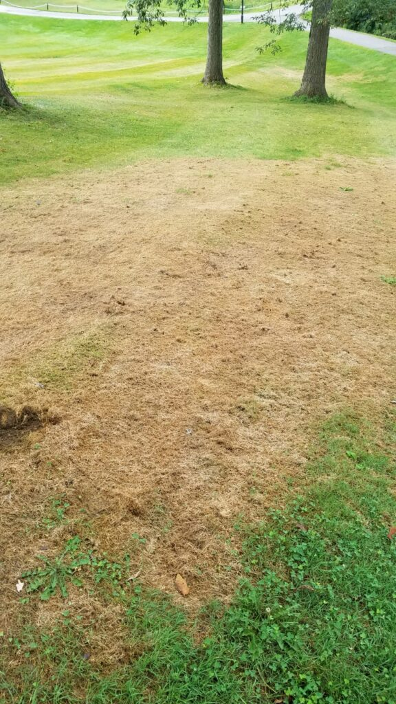 A stand of turfgrass damaged by fall armyworm larvae at the end of August in West Lafayette, IN.